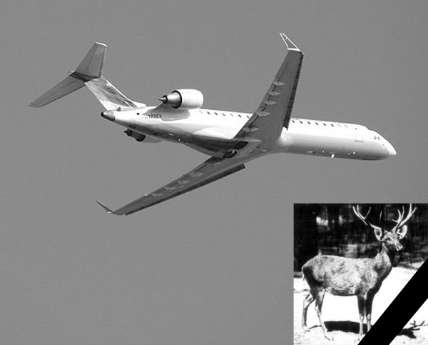 Autor: By Cory W. Watts from Madison, Wisconsin, United States of America (THE CRJ-700 in black and white) [CC BY-SA 2.0 (http://creativecommons.org/licenses/by-sa/2.0)], via Wikimedia Commons / Jeleń Autor: Photo of Cervus schomburgki, Schomburgk's Deer, from West Berlin Zoo though Lothar Schlawe (1911) - Wikimedia.com
